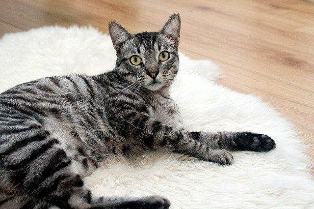 kočka na kožešině